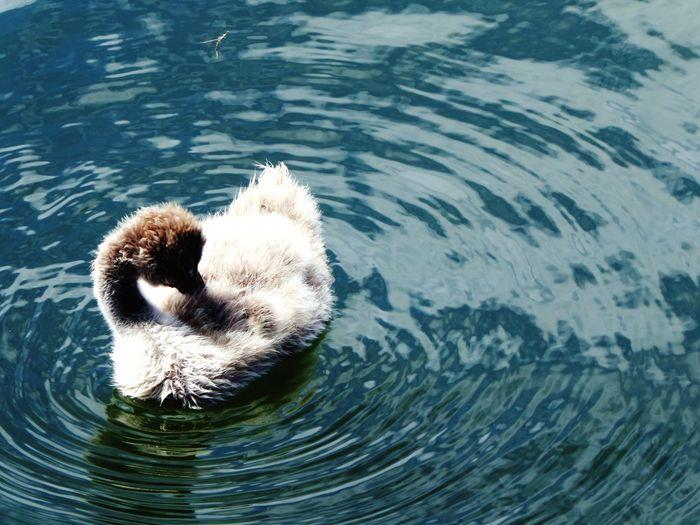 Water Swimming Animal Wildlife S ugly duckling Swan Lake EyeEmNewHere The Great Outdoors - 2017 EyeEm Awards