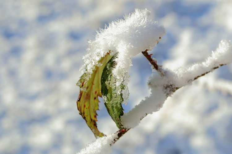 Ice Crystal Snowflakes Frozen Frozen Leaf Still Life Snow Hello World Sunny Blue Shadow Brombeerblätter White Color Cold Temperature Winter Ice Fragility Non-urban Scene No People Nature Rime Frost Melting Snow Vulnerability  Plant Softness Outdoors