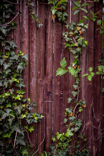 Close-up of ivy growing on fence