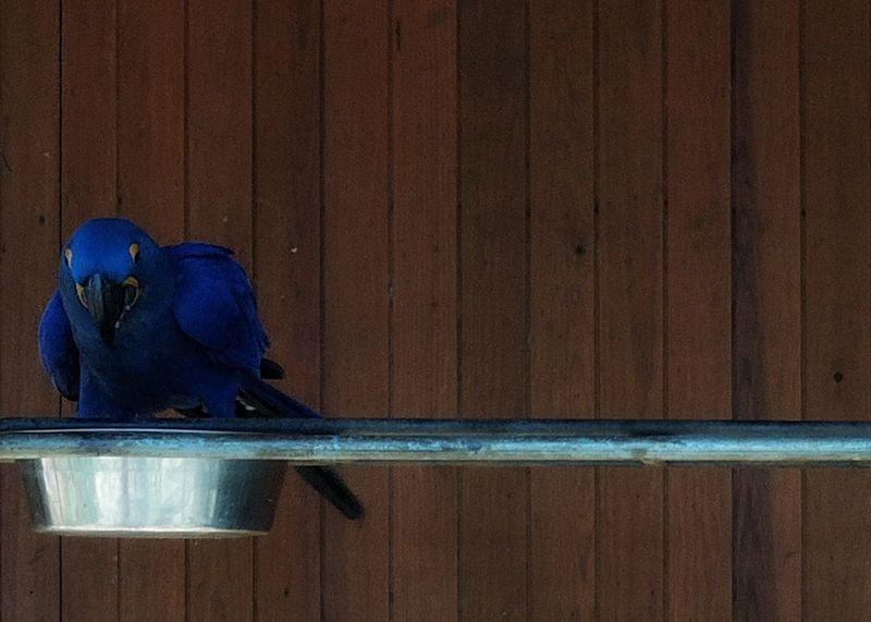 Hyacinth Macaw Arara-azul-grande Arara-jacinto Zoo Bird Animal Wildlife Blue Close-up Day Outdoors No People
