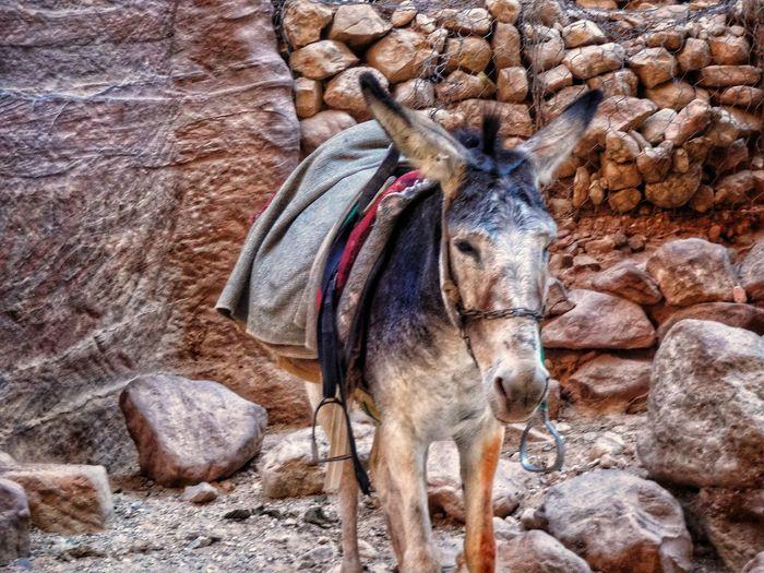 Donkey at al khazneh