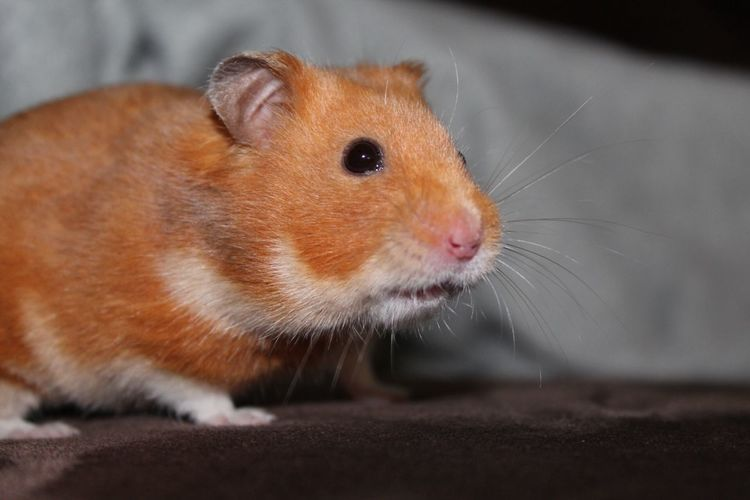 Extreme close-up of hamster looking away