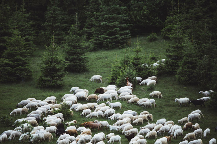 Flock Of Sheep By Trees