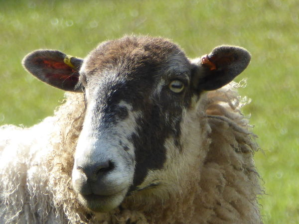 Animal Animal Head  Animal Themes Beauty In Nature Close-up Ewe Farm Animal Close Up Farm Animals Nature No People Outdoors Portrait Sheep Suffolk, United Kingdom