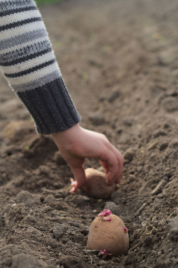 Cropped hand of child sowing potatoes in soil