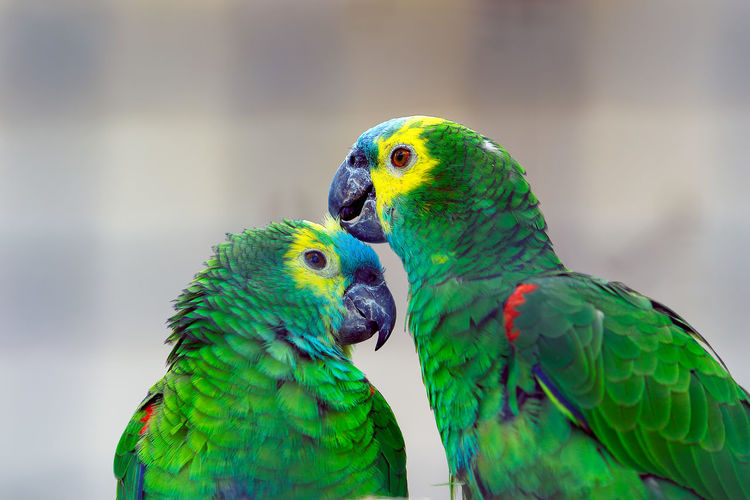 Animal Themes Animal Wildlife Animals In Captivity Animals In The Wild Bird Budgerigar Close-up Day Green Color Nature No People Outdoors Parrot Togetherness