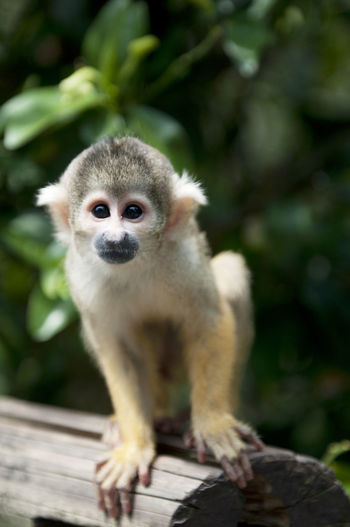 Close-up portrait of squirrel monkey