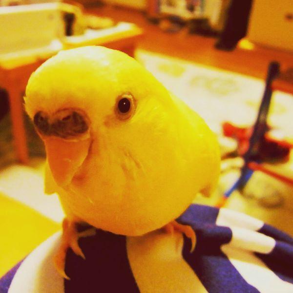 インコ Parakeet Macaw Bird.