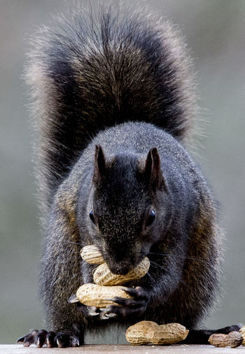 The peanut hoarder Black Squirrel Peanuts Squirrel Animal Themes Animal Wildlife Animals In The Wild Black Squirrel Eating Peanuts Close-up Day Mammal Nature No People One Animal Outdoors Peanut Eater Peanut Hoarder Squirrel Closeup