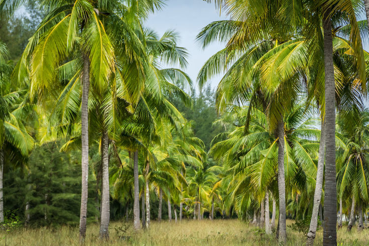 Coconut plantation Beauty In Nature Coconut Coconut Trees Day Freshness Green Color Growth Nature No People Outdoors Plantation Scenics Sky Tranquility Tree