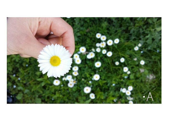 Spring Flowers Primavera Fiorichepassione Margherite Flowersinlove