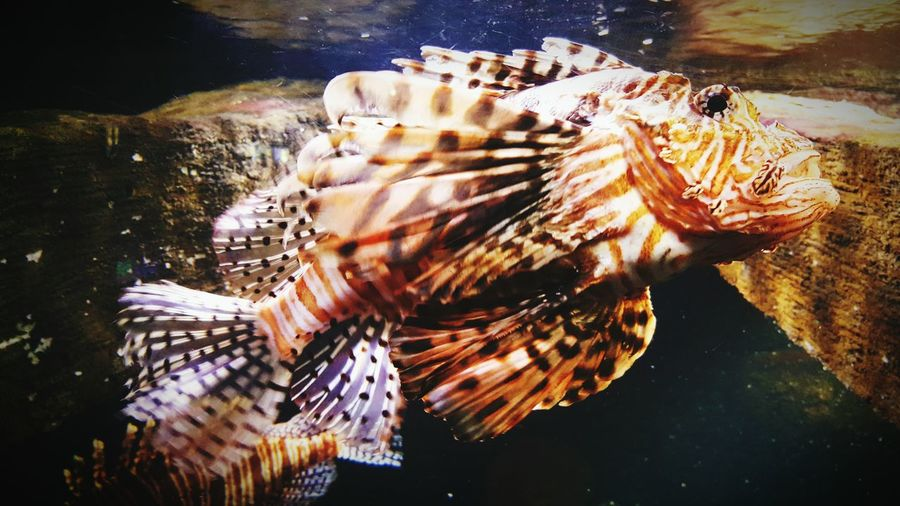 Close-up of lionfish swimming in tank at aquarium