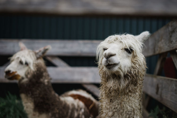 Close-up of alpacas in pen