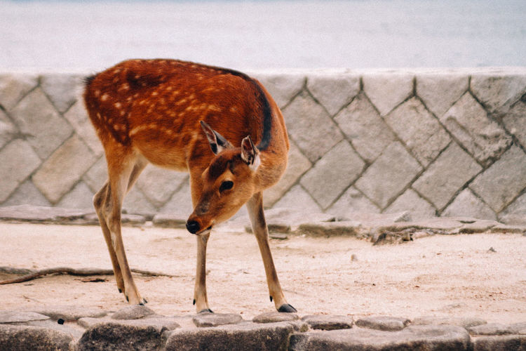 Deer looking away at zoo