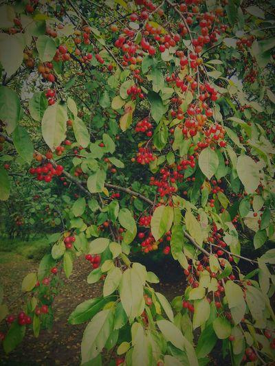 Cherry tree... Cherry Trees Tree Fruit North American Cherry Tree EyeEm Nature Lover Tree_collection  Wild Cherry Tree EyeEm New Jersey Smartphone Photography EyeEm Best Shots EyeEm Gallery