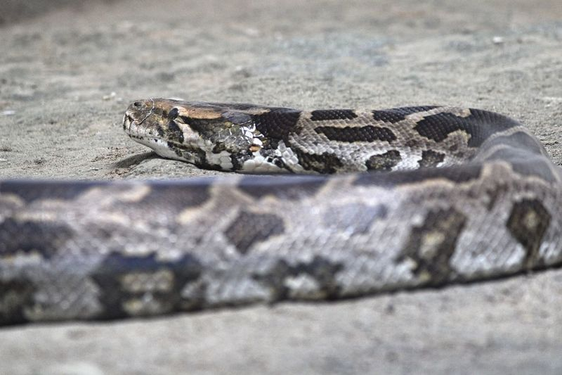 Indian Python Reptile Animal Themes One Animal Animal Vertebrate Animals In The Wild Animal Wildlife Snake No People Nature Animal Body Part Close-up Outdoors Selective Focus Land Sign Day Animal Markings Animal Scale Zoo