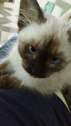 Looking At Camera Domestic Animals Domestic Cat Cat
