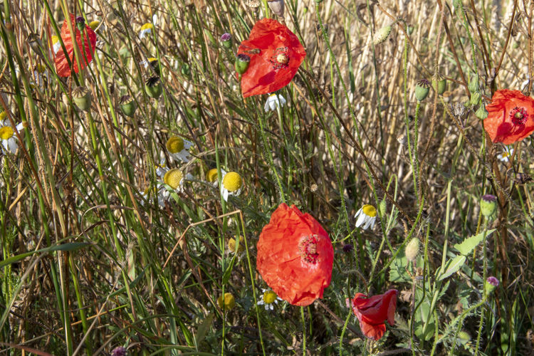 Close-up of red poppy flowers in field