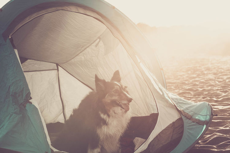 border collie dog sitting in a tent on Tenerife beach Border Collie Morning Sunlight Animal Themes Careful Close-up Day Dog Domestic Animals Looking At Mammal Nature No People One Animal Outdoors Pets Relaxation Sand Sitting Summer Sunset Tenerife Tent Tongue Out