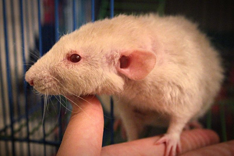 Rat White Rat Animals Pets Albinism