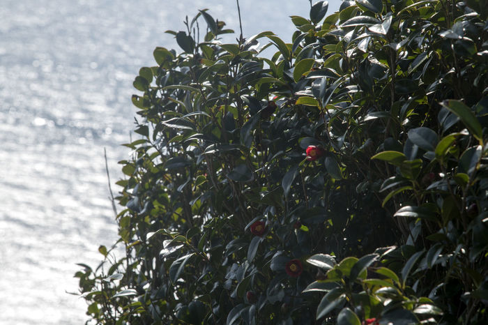 camellia tree and flowers at the seaside of Somaemuldo Island in Tongyeong, Gyeongnam, South Korea. Taken with Nikon d850 and Nikon 24-120mm Camellia Nature's Beauty Nikon D850 Beauty Of Nature Bright Day Camellia Flower Camellia Flowers D850 Horizon Over Sea Red Flower Sea Rock Seaside Seaside Flower Seaside Trees