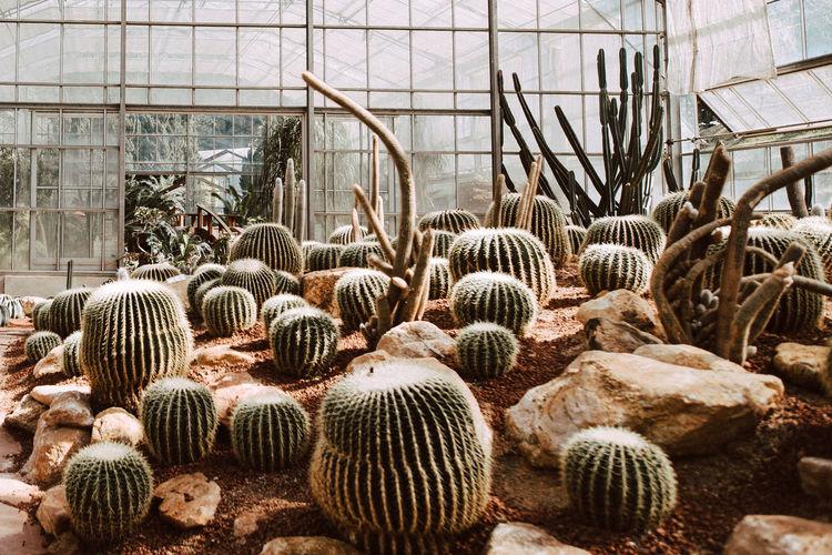 กระบองเพรช Day No People Plant Nature Growth Greenhouse Green House Abundance Large Group Of Objects Cactus Barrel Cactus Animal Tree Close-up Animal Themes Outdoors Animal Wildlife Succulent Plant Beauty In Nature Agriculture