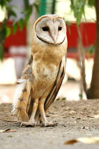 Owl Injuredbird Firsttimeseenthis Canon18-135 Canon Canonphotography Canon80d Canon Eos  Amasing Colour