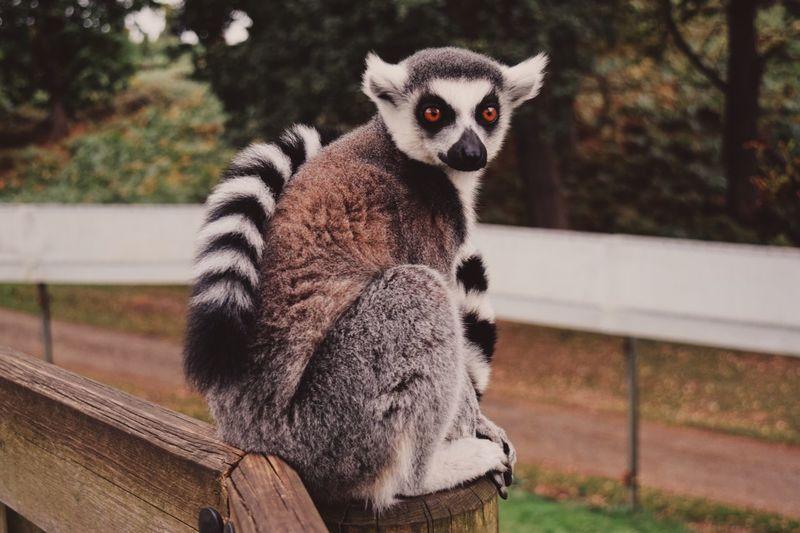 Portrait of lemur sitting