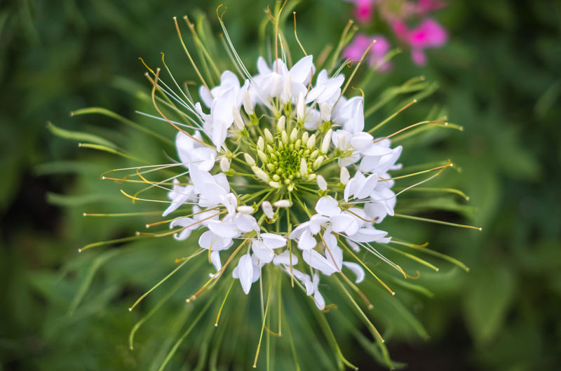 spider flower white top view or cleome spinosa. texture beautiful natural vegetation. Spider Flower Leaves Garden Green Backgrounds Outdoors Beautiful Park Nature Summer Leaf Spring Pink Flora Color Closeup White Natural Fresh Colorful Bright Plant Flowers Season  Floral Detail Bloom Botanical Growth Decoration Landscape Wildflower Autumn Blossom Petal Gardening Blooming Growing Tree Cleome Pretty Love Top View Textured  Flowering Plant No People Close-up Beauty Freshness