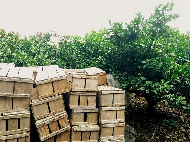 JEJU ISLAND  Mandarin Tree Wood Box No People Stack Wood - Material Day Outdoors Plant Growth Tree Nature