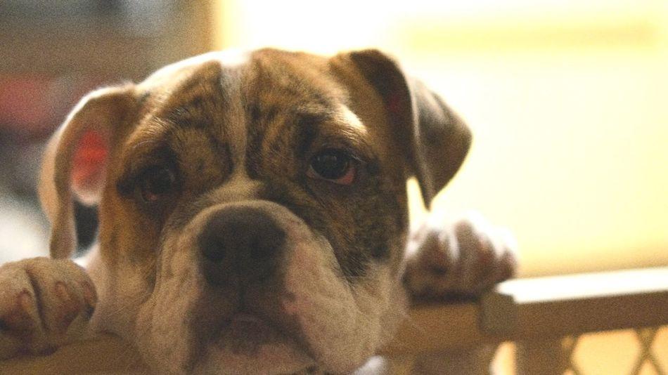 Frankie English Bulldog Pet Photography