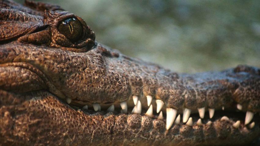 I See You Zurich Zoo Crocodile