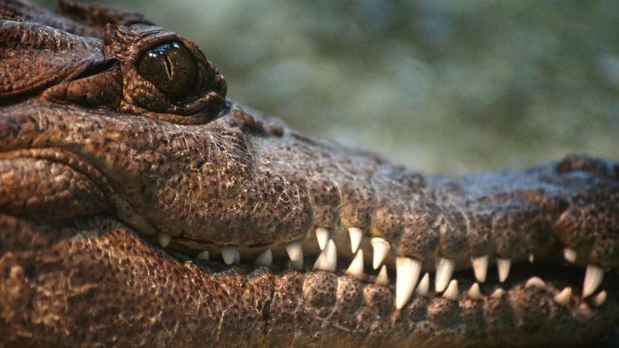 Close-Up Of Crocodile In Zoo