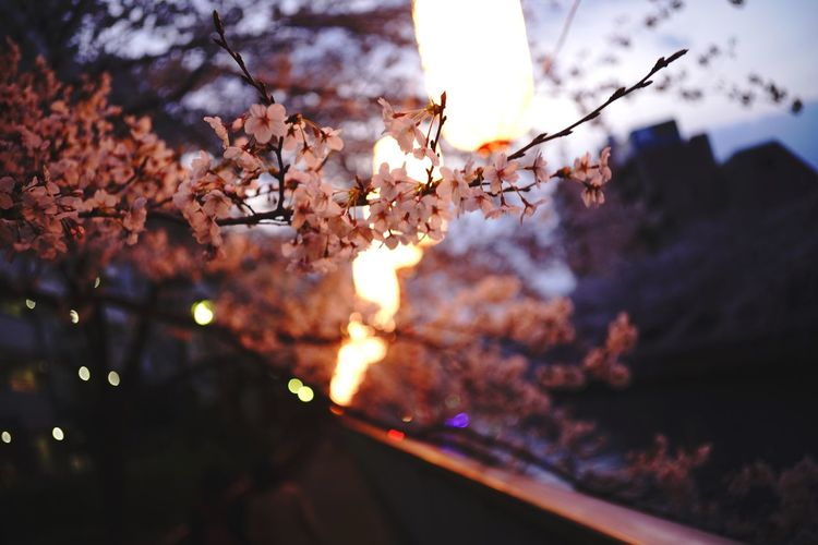 Cherry Blossoms Tokyo Tokyo,Japan Plant Tree Beauty In Nature Nature No People Branch Sky Growth Low Angle View Cloud - Sky Fragility Focus On Foreground Flower Sunset Tranquility Flowering Plant Selective Focus