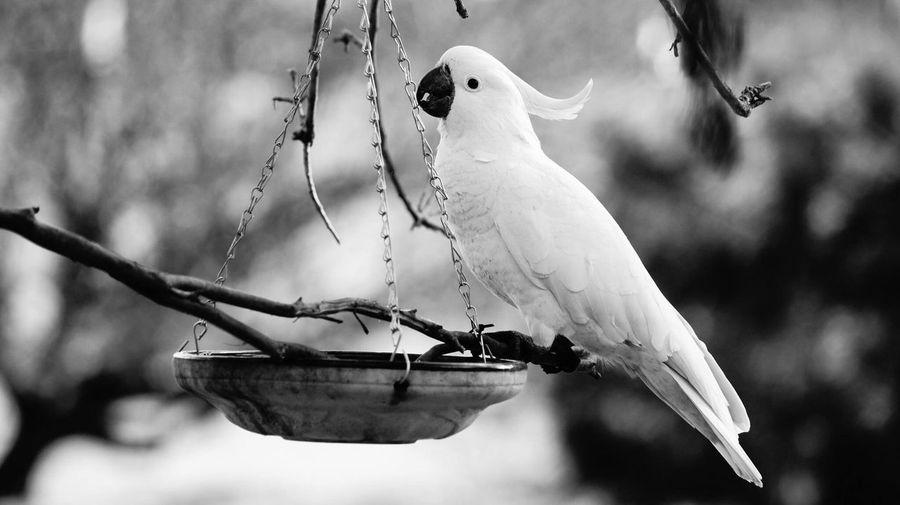 Close-up of cockatoo perching on bird feeder