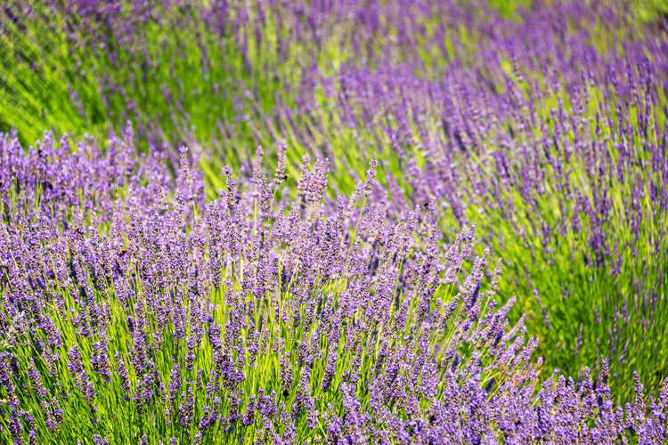 Closeup of beautiful purple lavender flowers in Oregon Agriculture Beauty In Nature Blooming Blossom Dundee Dundee Hills Field Flower Flower Head Flowers Green In Bloom Lavender Lavender Farm Lavender Field Nature Nature_collection No People Oregon Oregon Wine Country Pacific Northwest  Plant Purple