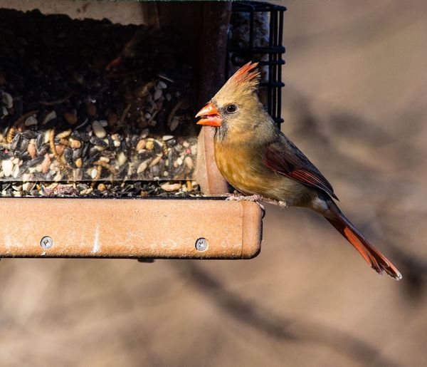 Close-up of female cardinal perching on bird feeder