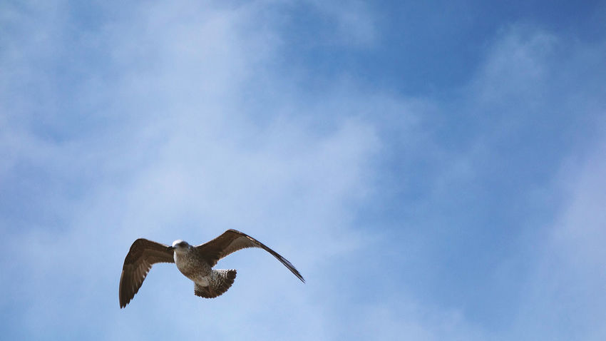 Animal Animal Themes Animal Wildlife Animals In The Wild Bird Blue Cloud - Sky Copy Space Day Flying Low Angle View Mammal Mid-air Nature No People One Animal Outdoors Seagull Single Sky Spread Wings Vertebrate