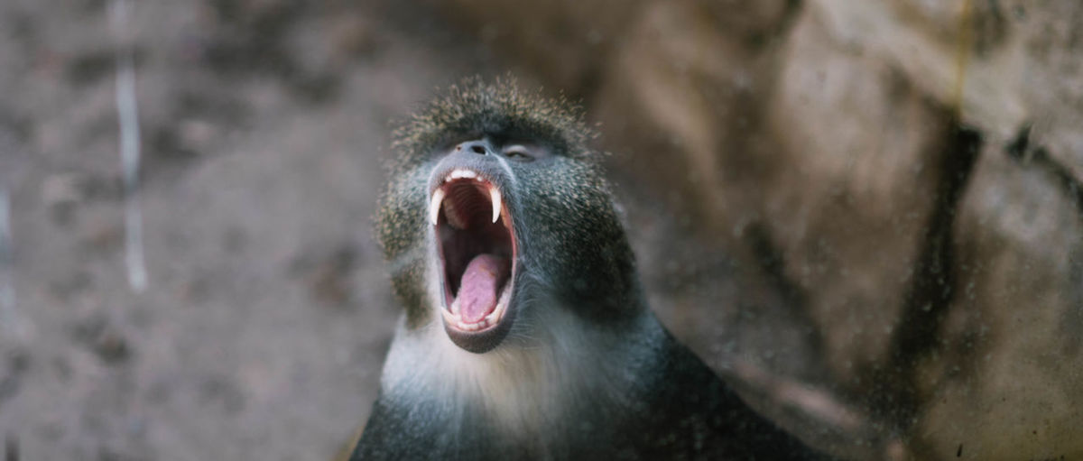 Close-up of baboon yawning in forest