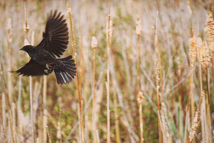 The escape EyeEm Birds Birds Bird Photography Flight Marshes Reeds Cattails EyeEm Nature Lover Nature Fly Free