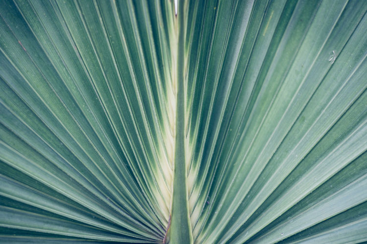 Hortus Botanicus No People Leaf Plant Part Palm Leaf Backgrounds Palm Tree Pattern Tropical Climate Full Frame Close-up Growth Beauty In Nature Plant Frond Natural Pattern Green Color Tree Nature Textured  Freshness Outdoors Abstract Backgrounds Leaves Silver Colored
