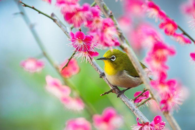 Japanese White-Eye Perching On Plum Tree