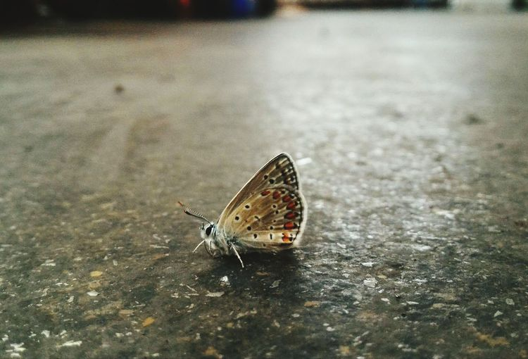 Butterfly Walking Around On The Road On The Street