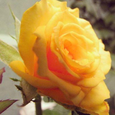Instagallerys Instagalleries Instagram Igerscampinas rosa rose