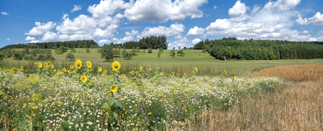 Wild flower meadow with sunflowers in rural landscape in summer Field Flower Meadow Green Land Marguerite Nature Panoramic Rural Scenic Sunflower Sunny Tree Blooming Blossoming  Countryside Flower Forest Idyllic Landscape Meadow Picturesque Rural Scene Season  Summer Wild