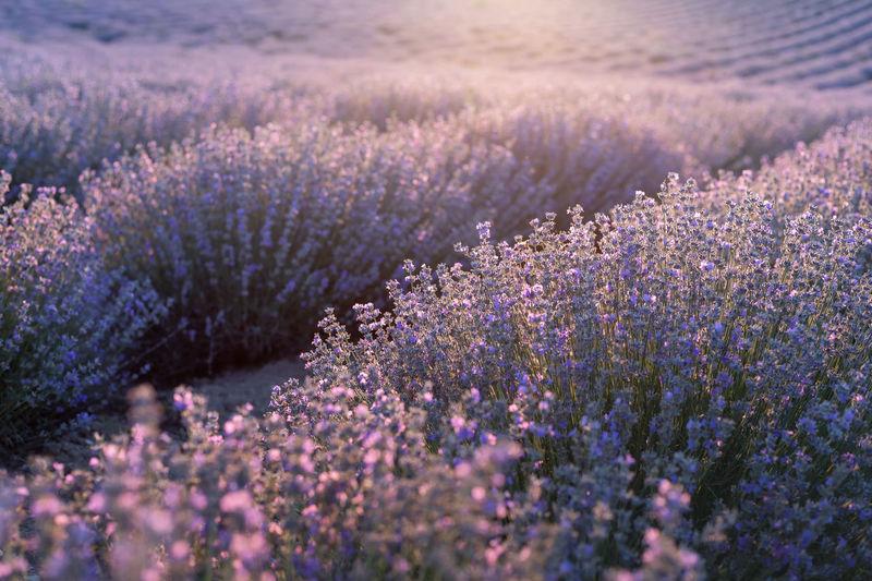 Purple flowering plants on field, blooming lavender and sunlight