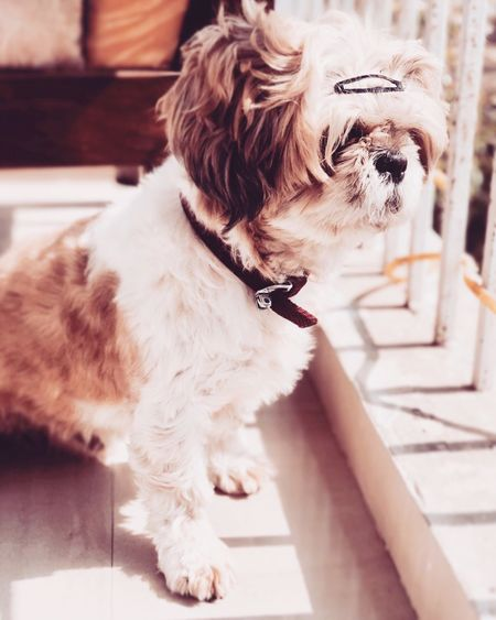 My little one - Dexter! 🐶 Dog Pets Close-up Animal Themes Shihtzu Cute Cute Pets