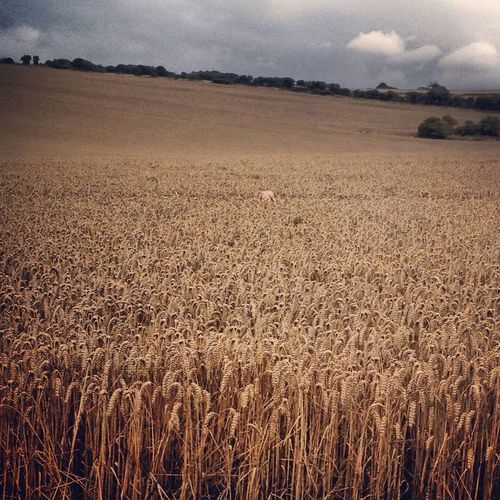 Field Fieldscape Fields Of Gold Crops Farmland Spot The Child Landscape Rural Scene Beauty In Nature Scenics Horizon Over Land Focus On Foreground Tranquil Scene Nature Wheat People And Places Long Goodbye