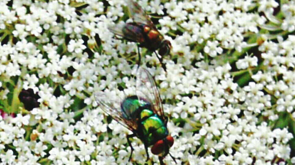 Looks like two Different Species of Flies on Queen Anne's Lace Flower (Daucus Carota) Macro Nature Popular EyeEm Gallery Fresh On Eyeem  My Point Of View Eyeem Trending New On Eyeem EyeEm Week TRENDING  Showcase June New On Market Nature