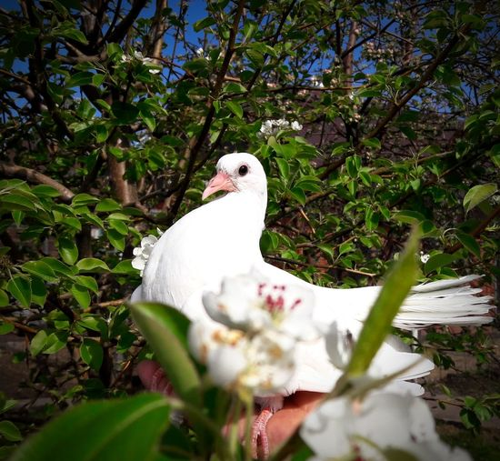 Bird White Color Animal Wildlife One Animal Outdoors No People Nature Day Tree Bird Of Prey Perching Beauty In Nature Nature Peugeot Pear Pear Flowers Blooming Flower Blooms Animal Themes Portrait Lifestyles